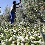 Recogemos Aceitunas Temprana para obtener el mejor Aceite Ecológico