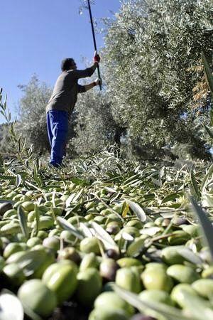 Aceite de oliva virgen extra ecológico, qué es y sus propiedades
