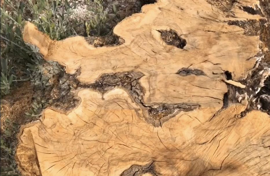 firma STOP al expolio de olivos milenarios de Andalucia,