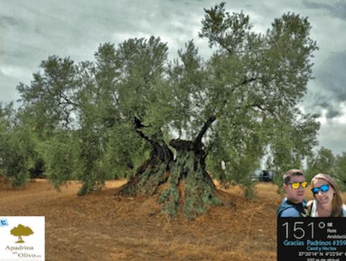 Apadrinando un olivo tienes estas ventajas